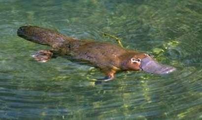 L'ornithorynque est un mammifère endémique de l'Australie et de la Tasmanie présentant plusieurs curiosités. Il possède en effet un bec et pond des œufs. Comme les échidnés, il n'est donc pas vivipare. © Australian Department of Environment and Resource Management