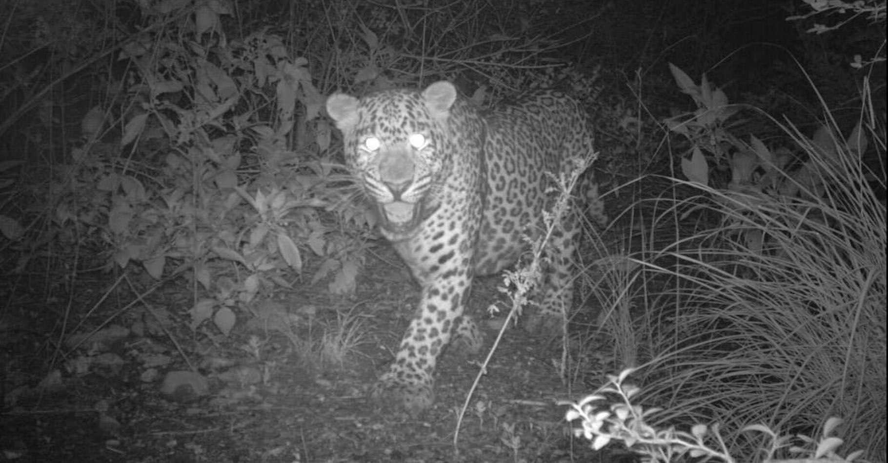 Des appareils à déclenchement automatique ont surpris des léopards errant sur les sentiers du parc national de Margalla Hills (Pakistan). © Islamabad Wildlife Management Board