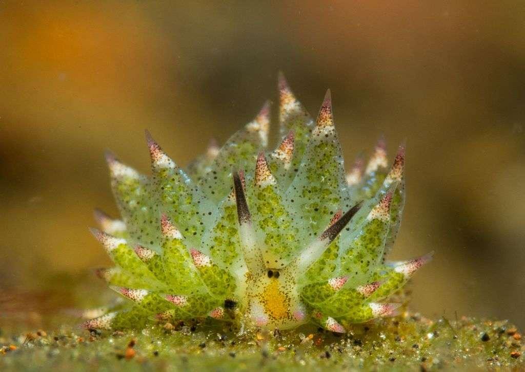 Une Costasiella kuroshimae vue de face. Les papilles remplies de chloroplaste sont bien visibles. © alif_abdulrahman, CC