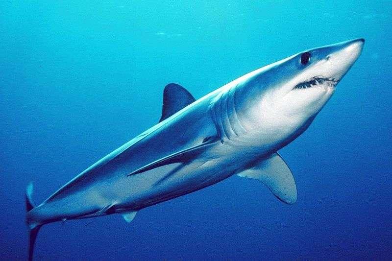 Le requin mako, de couleur bleu nuit, est aussi appelé requin-taupe bleu. Il est considéré comme une espèce vulnérable sur la liste de l'IUCN, et se trouve dans toutes les eaux tropicales et tempérées du monde. © Mark Conlin, Wikipédia, DP