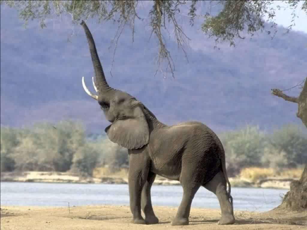L'éléphant attrape sa nourriture avec son proboscis. © fondecran.com