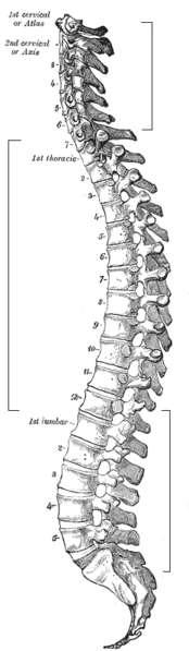 La colonne vertébrale est l'une des principales composantes du squelette axial. © Gray's Anatomy, Wikimédia domaine public