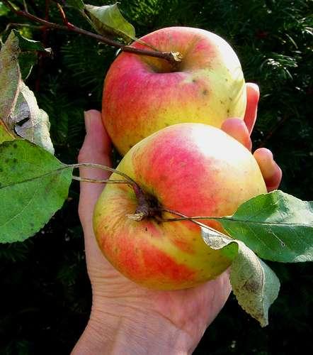 Bio ou pas, ceci n'est qu'une pomme... © flora.cyclam / Flickr - Licence Creative Common (by-nc-sa 2.0)