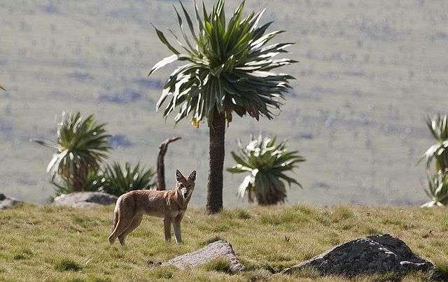 Le loup d'Éthiopie ou loup d'Abyssinie, ancien nom désignant le pays, se nourrissent essentiellement de rongeurs, comme le rat-taupe géant, et augmentent leurs chances de capture en se faufilant parmi des primates. © Harri J, Wikimedia Commons, cc by sa 2.5