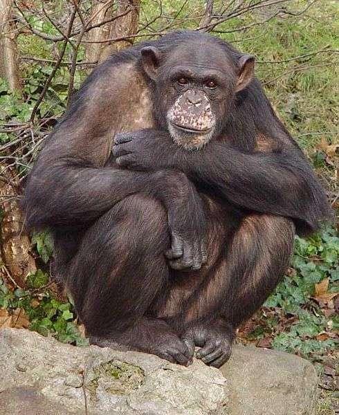 Chimpanzé. Crédit : Kotisatama