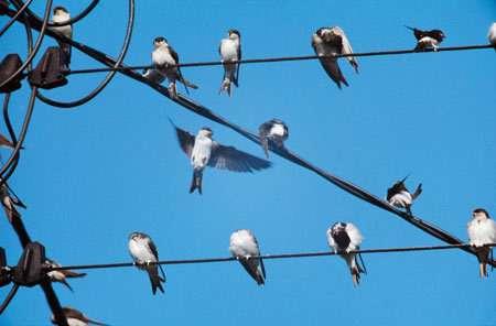 D'habitude, les hirondelles se regroupent pour partir alors qu'il fait encore beau.© Yann Hermieu LPO