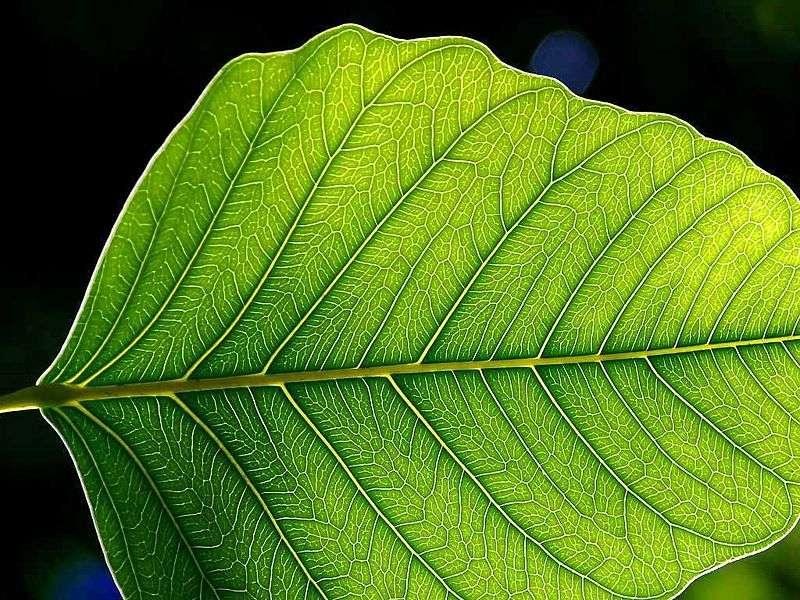 La photosynthèse est un mécanisme spécifique des plantes vertes. © Jon Sullivan, Wikimedia, domaine public