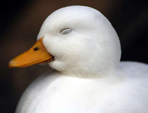 Les canards font partie des rares oiseaux à avoir un pénis. © Law Keven CC by sa