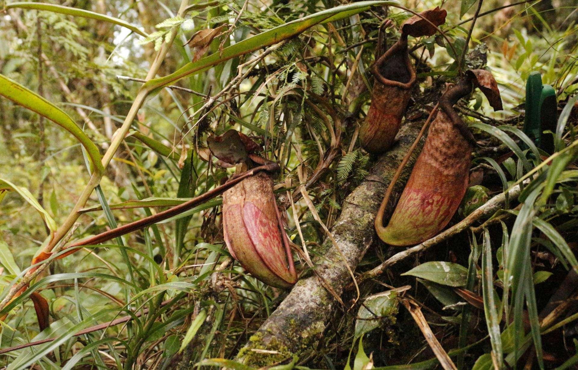 Nepenthes cabanae, la nouvelle espèce de plante carnivore découverte aux Philippines. © N.E Lagunday