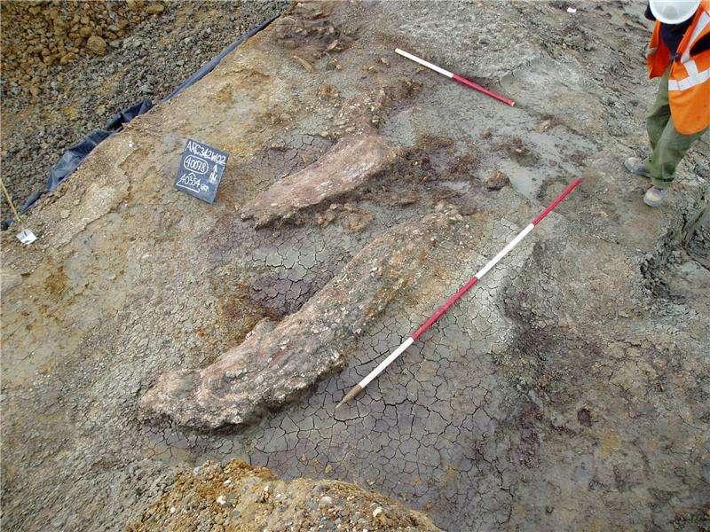 Ces défenses appartiennent à l'éléphant Palaeoloxodon antiquus, découvert en 2003 dans la vallée d'Ebbsfleet, dans le Kent (Royaume-Uni), où il a nourri plusieurs humains du genre Homo. © Université de Southampton
