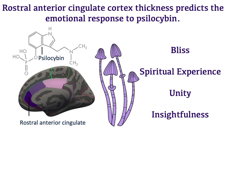 La partie rostral du cortex cingulaire antérieur serait impliquée dans la réponse du cerveau à la psilocybine, en altérant quatre états de conscience en particulier : la félicité (bliss), l'expérience spirituelle (spiritual experience), le sentiment d'unité (unity), et la perspicacité (insightfullness). Son épaisseur jouerait un rôle dans cette réponse émotionnelle. © Candace Lewis et al., Rostral Anterior Cingulate Thickness Predicts the Emotional Psilocybin Experience, Biomedicines