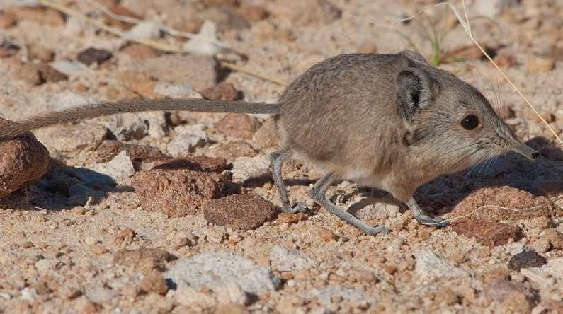 Macroscelides micus mesure moins de 10 cm (sans la queue) et, comme toutes les espèces de son genre, se distingue par une trompe. Ce petit mammifère des déserts africains ne s'était jusque-là pas fait remarquer. © Dumbacher et al., Journal of Mammalogy 2014