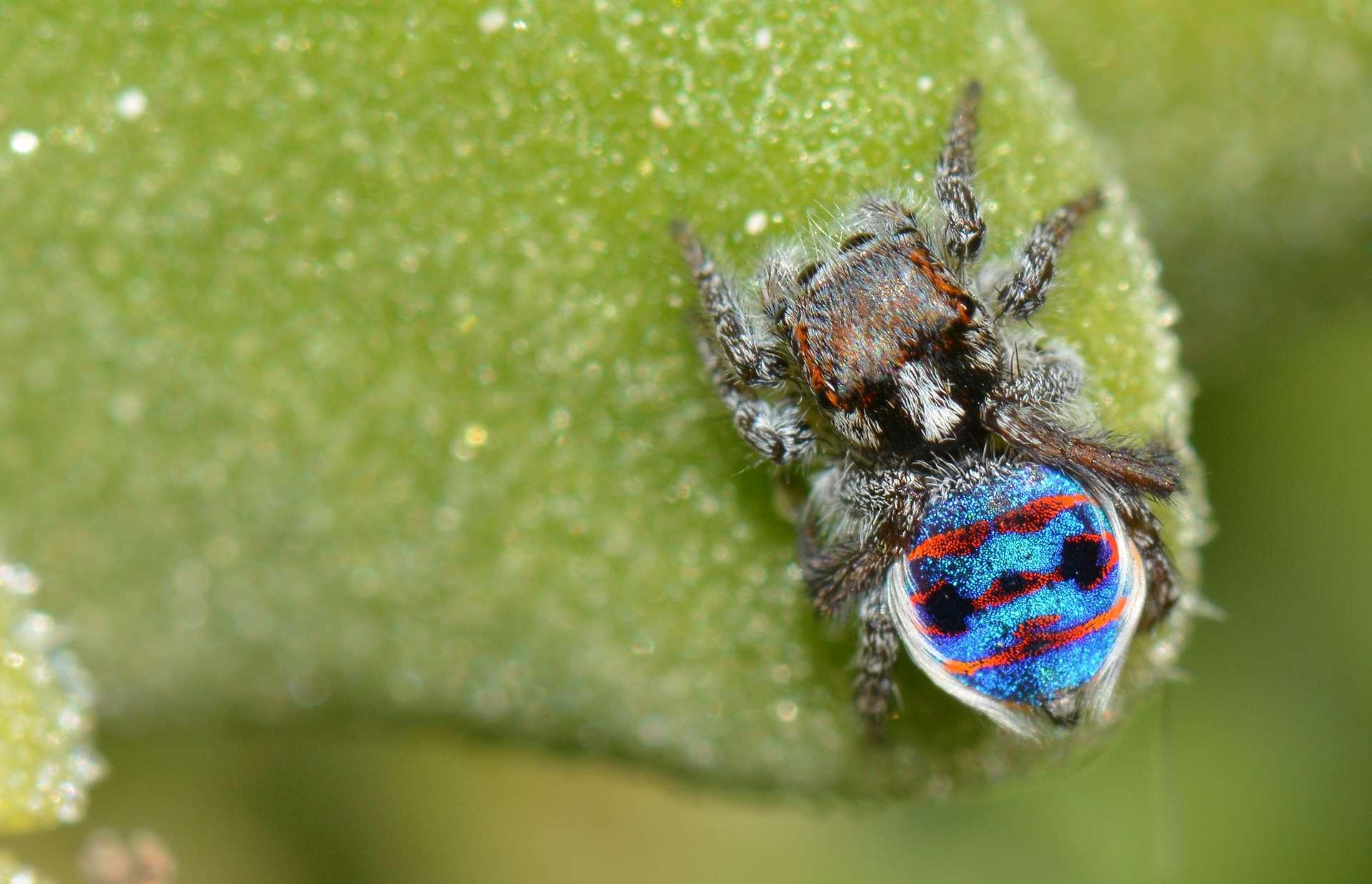 L'araignée paon Maratus speciosus, endémique de l'Australie, affiche sur son corps des couleurs lumineuses renforcées par des taches super-noires. © Jean and Fred, Flickr, CC By 2.0