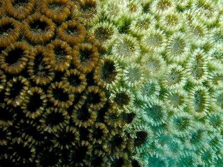 Favia pallida, un anthozoaire connu dans l'océan Indien et dans le Pacifique sud, subissant un phénomène de blanchiment (les algues symbiotiques meurent ou sont expulsées, ce qui conduit à la mort du corail). © N. Hobgood CC by-sa