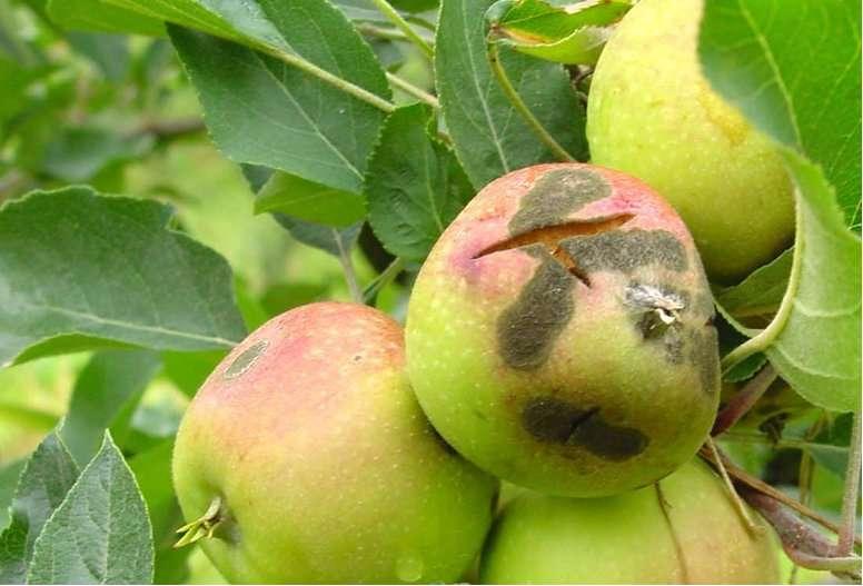 Les principaux fongicides contre la tavelure du pommier sont en passe de devenir inefficaces. Ici, une photo montrant les symptômes sur ce fruit. © Bruno Le Cam/Inra