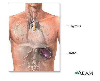 Le thymus est le lieu de la maturation des lymphocytes T. © Adam