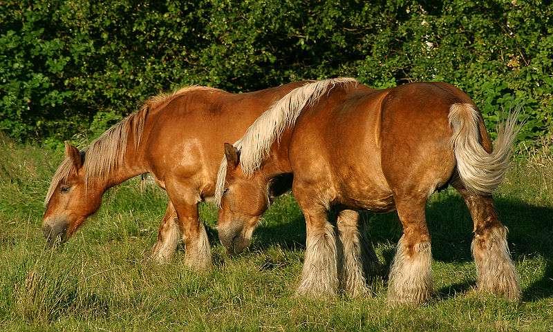 Les chevaux utiliseraient différents signaux visuels : l'orientation de la tête, les yeux, mais aussi les oreilles. © Malene Thyssen, Wikimedia Commons, cc by sa 3.0
