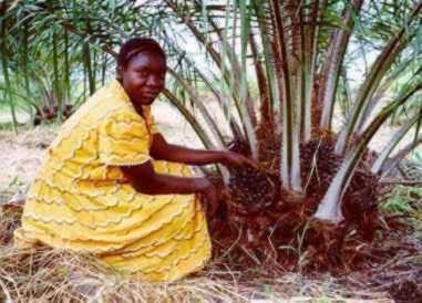 Le palmier à huile, candidat au stockage du carbone