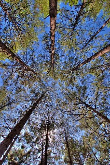 Forêt de pin dans les Landes. Crédits DR