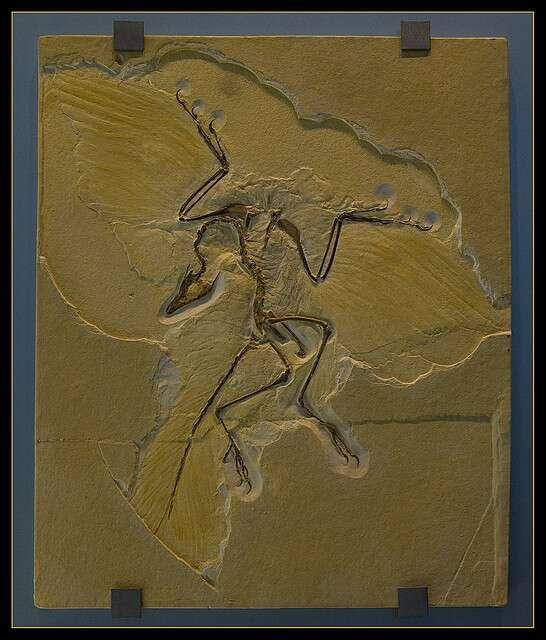 Malgré l'impression de vol dégagée par cet exemplaire fossile exposé à Berlin, l'archéoptéryx n'est plus un oiseau mais bien un dinosaure. © digital-cat, Flickr, CC-by-2.0