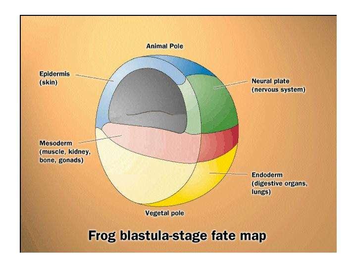 Durant la gastrulation (ici une gastrula de grenouille), une réorganisation massive des cellules installe à leurs places les deux premiers feuillets, l'ectoderme et l'endoderme. Ils donneront l'épiderme et le système nerveux pour l'un et le système digestif et les poumons pour l'autre. Un troisième feuillet apparaît, le mésoderme, qui donnera les organes internes. L'embryon perd sa symétrie sphérique. © Life : The Science of Biology, Purves et al., 1998
