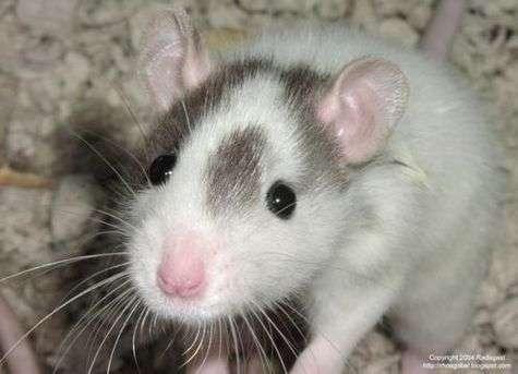 Olfaction excellente, petite taille et grande agilité : le rat est mieux adapté que le chien et le robot pour repérer des victimes ensevelies. Il ne reste plus qu'à le convaincre de le faire...
