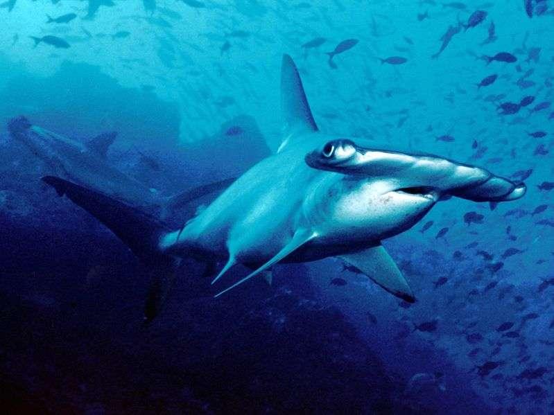 Plusieurs espèces se cacheraient sous le nom d'espèce Sphyrna lewini. Ceci pourrait peut-être expliquer pourquoi certaines populations de requins-marteau halicornes sont pélagiques tandis que d'autres vivent en abondance dans les eaux côtières. © Robb Peters, Wikimedia common, CC by 2.0