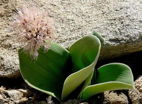 L'Haemanthus humilis est une plante géophyte d'Afrique du sud qui passe la sécheresse sous la forme d'un bulbe enterré dans le sol. © J.G. in S.F. CC by-nc-nd 2.0