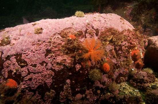 L'algue rouge encroûtante Clathromorphum compactum s'observe dans les régions côtières de l'Atlantique nord, du Pacifique nord et de l'océan Arctique. © Nick Caloyianus