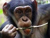 Débat : implantation de cellules cérébrales humaines chez des primates