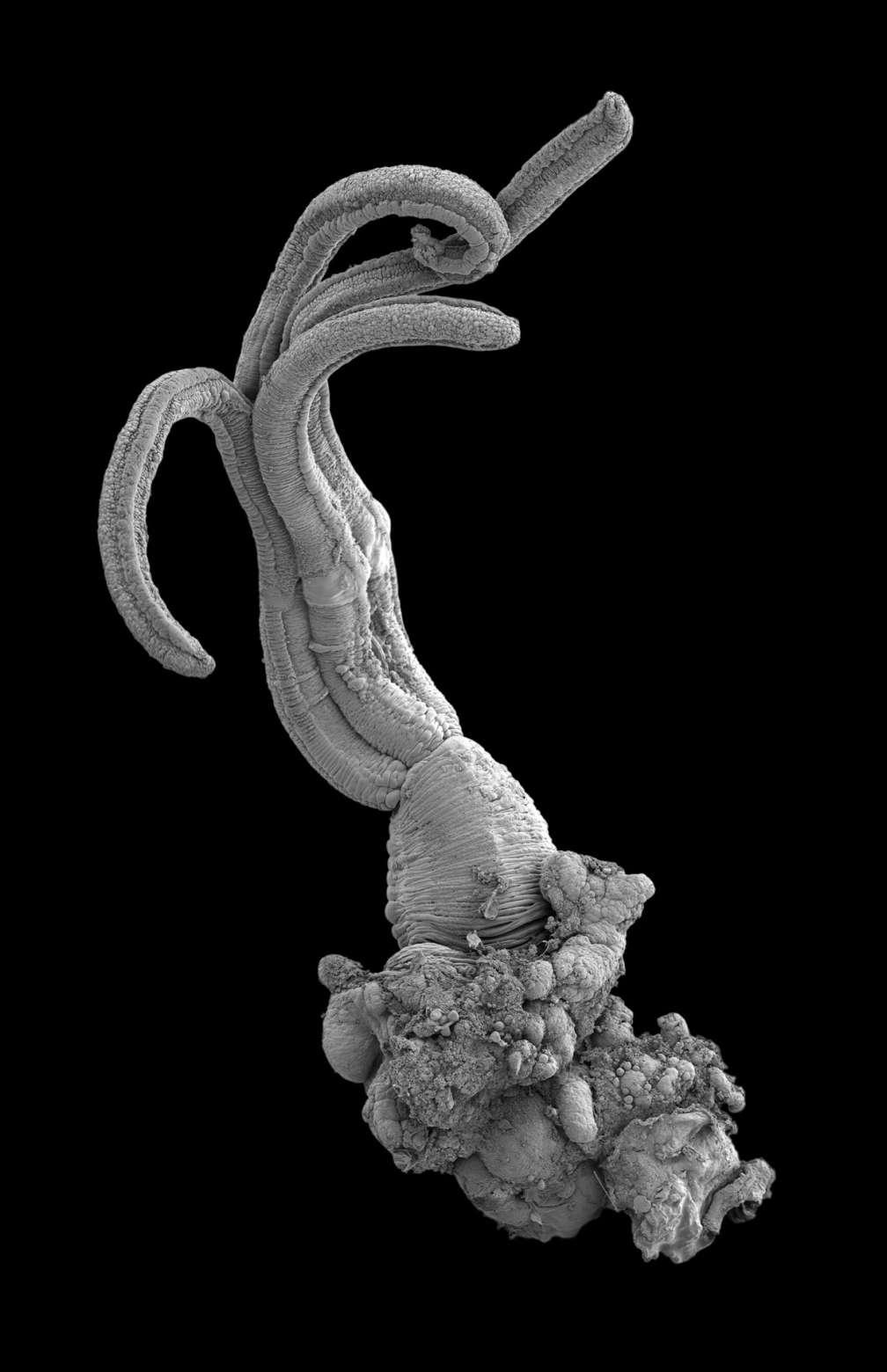 Cet étrange ver du genre Osedax, ici au microscope électronique, utilise son extrémité en forme de racine (en bas sur l'image) pour sécréter un acide qui va digérer les os des squelettes des baleines gisant au fond des mers. © Adrian Glover