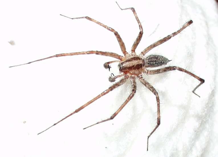La femelle araignée de l'espèce Agelenopsis pennsylvanica mange parfois les mâles en période de reproduction. Une technique qui semble attirer les autres prétendants. Il faut faire des concessions pour être belle… © Patrick Edwin Moran, Wikipédia, cc by sa 3.0