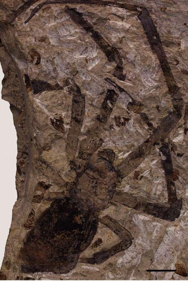 Nephila jurassica est le plus gros fossile d'araignée jamais découvert. © Biology Letters