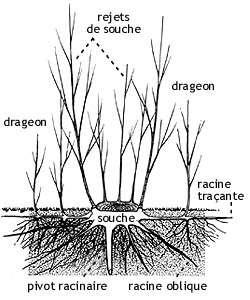 Après abattage, la souche d'un arbre va émettre des rejets tandis que des drageons vont pousser à partir des racines horizontales, dites traçantes. © Pierre Le Den, ENSP, (MR & SD)