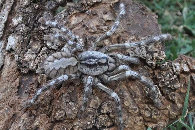 On confond souvent la tarentule et la mygale. La tarentule est une araignée de la province de Tarente, en Italie. La mygale se caractérise par une articulation crochets-partie supérieure des chélicères qui se fait dans l'axe longitudinal du corps. (Comme chacun sait, cette paire d'appendices est caractéristique des chélicérates, un groupe dont font aussi partie les scorpions et les inoffensives limules.) Voici Poecilotheria rajaei, la 16e espèce de mygale du genre Poecilotheria. Elle a été découverte au Sri Lanka. © Ranil Nanayakkara
