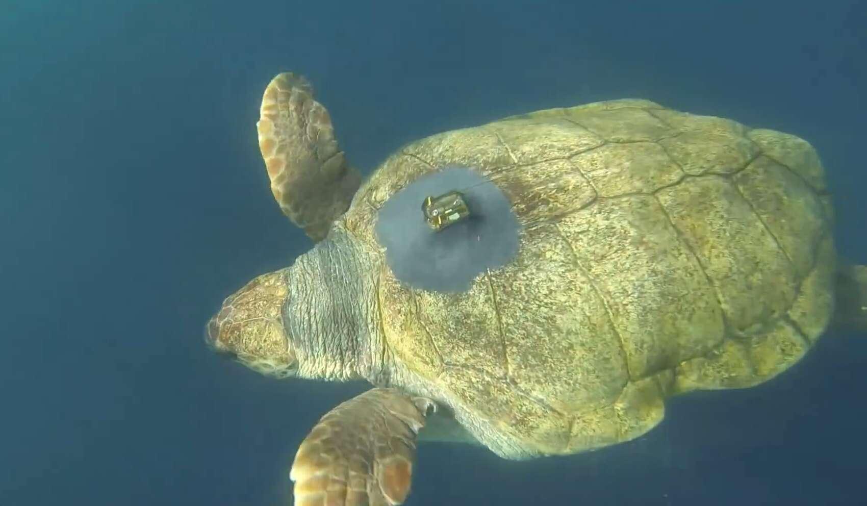 Yoshi, une tortue caouanne de 180 kg, a parcouru 37.000 kilomètres en deux ans depuis qu'elle a été relâchée de son aquarium en Afrique du Sud. © Two Oceans Aquarium, YouTube