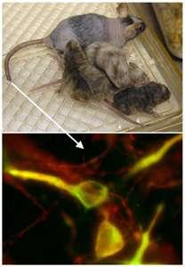 Des cellules prélevées sur la peau, au niveau de la queue, peuvent fournir des noyaux, qui seront ensuite introduits dans des ovocytes préalablement énucléés. © Lorenz Studer/Developmental Biology/Sloan-Kettering Institute