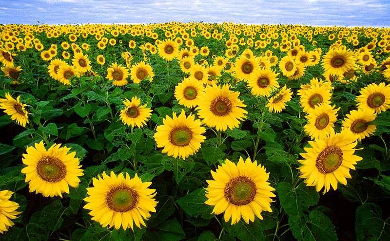 Le tournesol est célèbre pour son héliotropisme (sa tendance à s'orienter selon les déplacements du Soleil dans la journée). Mais pour sa croissance aussi, il utilise la lumière ainsi que la gravité pour former une tige bien droite. © USDA, Wikipédia, DP