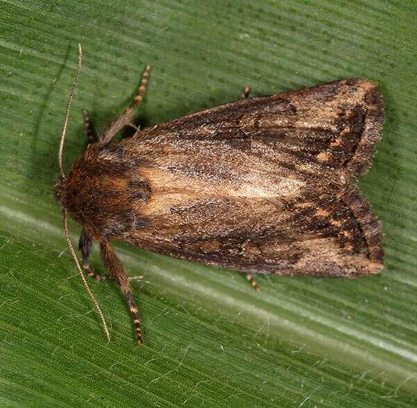 Busseola fusca est un papillon de nuit vivant en Afrique. Il semble qu'en Afrique du Sud, ce petit ravageur aurait développé un mode de résistance au maïs Bt. © Bruno Le Ru, IRD