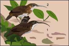 1) Pomathorin de Naung Mung (Jabouilleia naungmungensis)et 2) à queue courte (Jabouilleia danjoui)