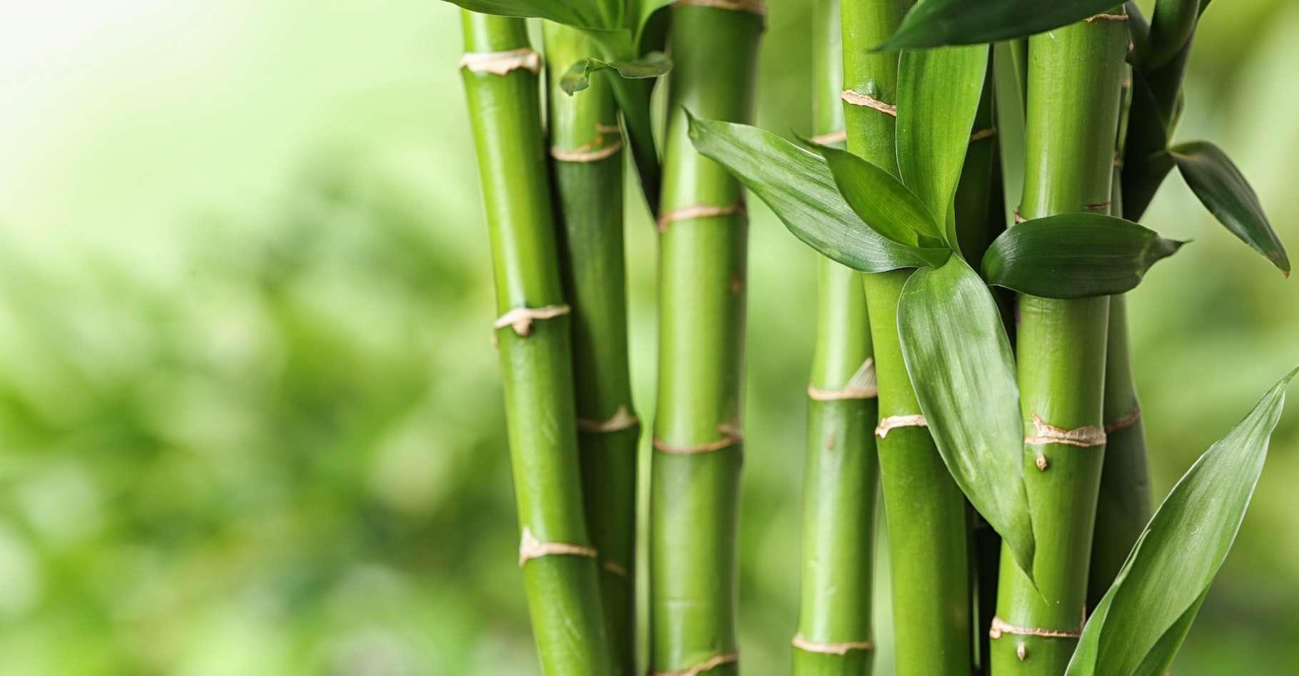 Bambou Quand La Nature Nous Apprend à Construire Des Bâtiments écologiques