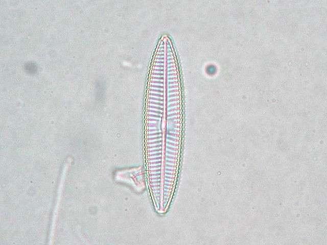 La diatomée est une microalgue planctonique. © Fabelfroh, Flickr, CC by nc-sa 2.0