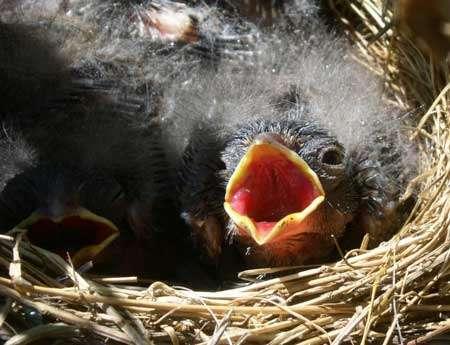 Quand les oisillons tombent parfois du nid