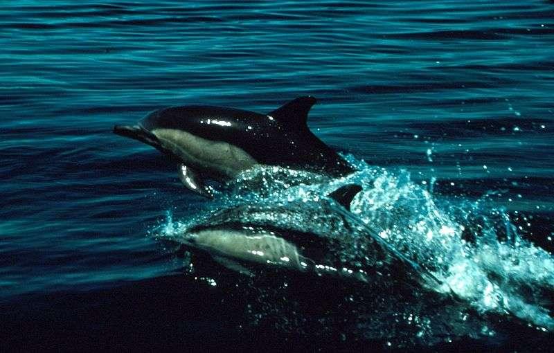 Photo d'un dauphin commun à bec court. © Shane Anderson, NOAA, domaine public
