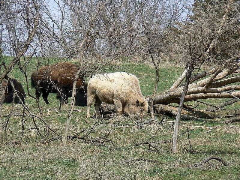 Photo d'un bison blanc. © Mongo, Wikipédia, domaine publique