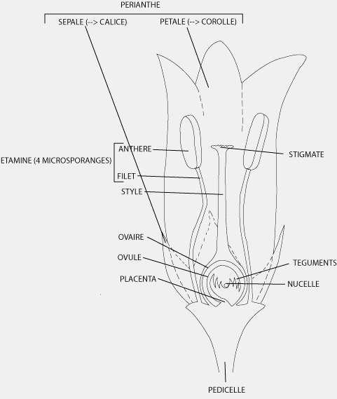Le périanthe protège les organes reproducteurs de la fleur, le gynécée (ou pistil) et l'androcée (ensemble des étamines). © ONG Louvain Coopération, afd-ld.org