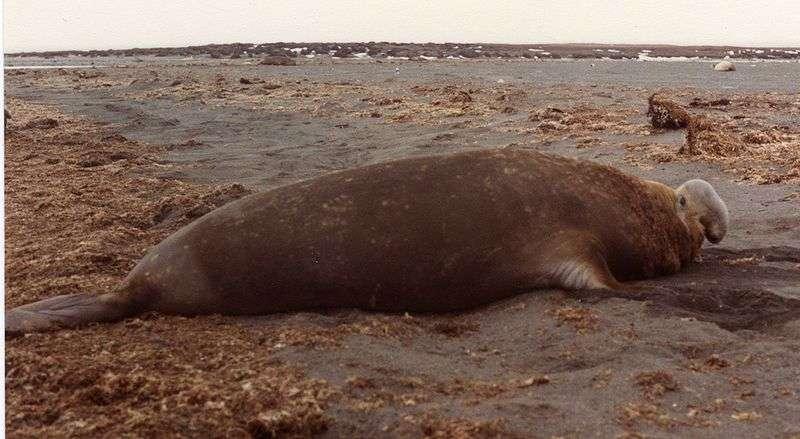 Photo d'un éléphant de mer du Sud mâle. © B.navez, GNU FDL Version 1.2
