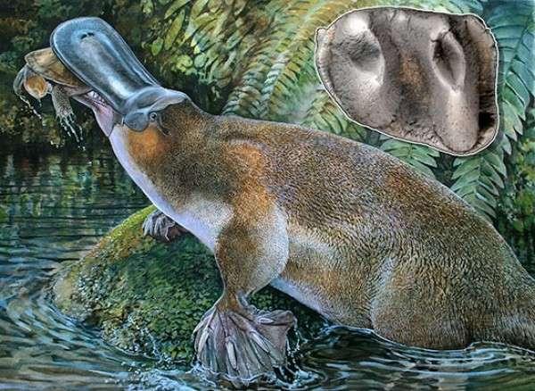 Représentation artistique d'un Obdurodon tharalkooschild se nourrissant d'une tortue dans un environnement proche de celui qui devait exister à Riversleigh (Australie) voici 5 à 15 millions d'années. L'encart à droite et en haut de l'image montre la molaire fossilisée de l'ornithorynque qui a été mise au jour par Rebecca Pian, sur ce même site. © Peter Schouten (dessin) et Rebecca Pian (photographie de la dent)