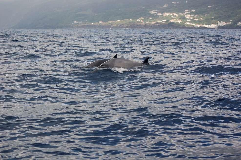 La baleine de Sowerby (Mesoplodon bidens) appartient, comme Mesoplodon hotaula, à la famille des ziphiidés. Ces mammifères marins à dents, ce sont des odontocètes, se démarquent par leur long museau, qu'ils utilisent entre autres pour attraper des calmars. © Christine Veeschkens, Flickr, cc by nc nd 2.0