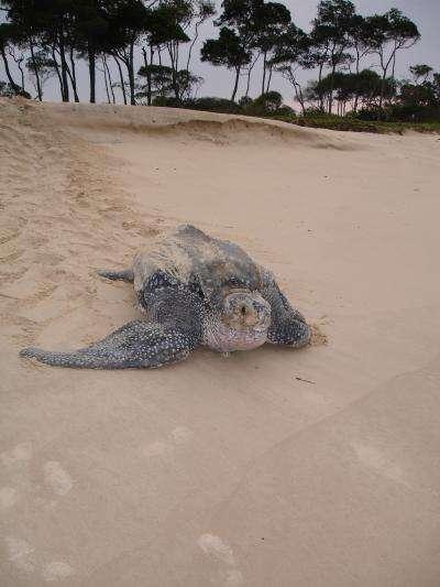 Les tortues Luth effectuent de très longues migrations, mais reviennent sur les plages de leur naissance pour se reproduire. © Matthew Witt